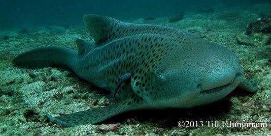 Scuba Addicts: leopard shark at Phi Phi island