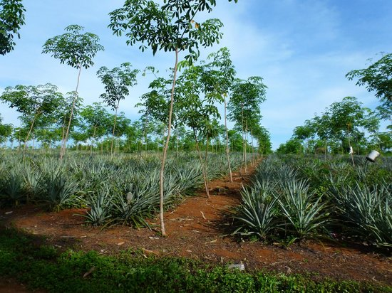 Koh Mak Resort: nearby pineapple plantation