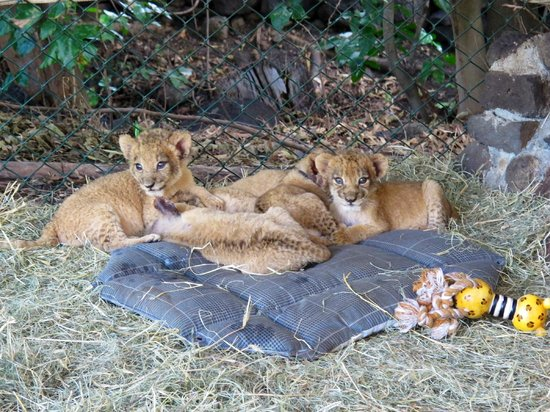 Cascavelle: Beautiful cubs!