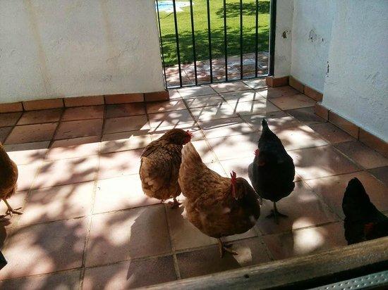 Finca La Media Legua: Las gallinitas esperando a nuestros hijos