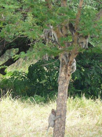 Baluran National Park : Un arbre à singes