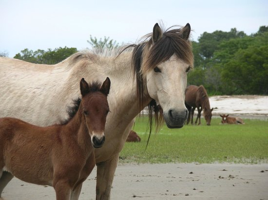 Chincoteague Cruises & Nature Tours: Ponies on Captain Charlie's oyster farm