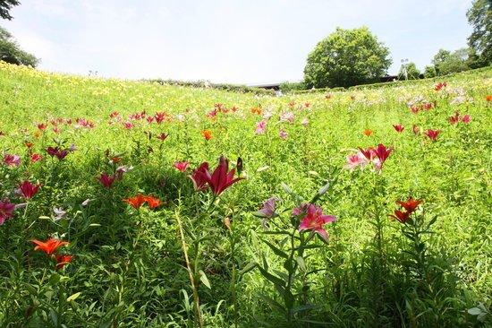 Tokorozawa, Japón: 丘一面にユリが咲く