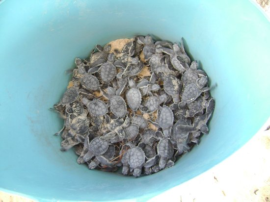 Akumal Beach: Turtles hatched and wating to be released at night