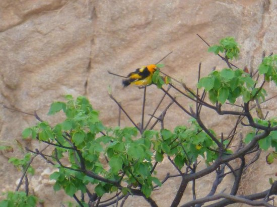 Secrets Huatulco Resort & Spa: Birds are brilliant - an oriole, I think