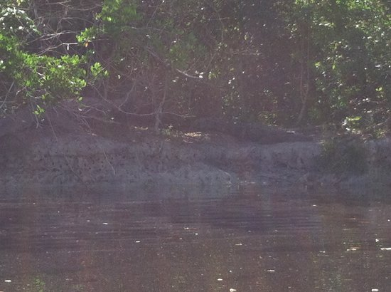 Buttonwood Canal : Crocodile on the Buttonwood Bank