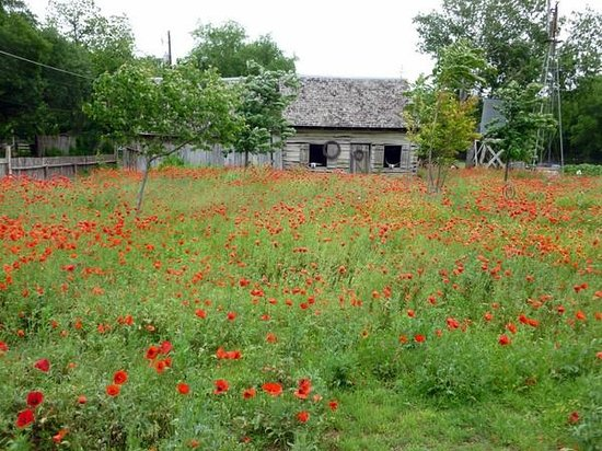 Castroville Historic Walking Tour: Poppies in full bloom
