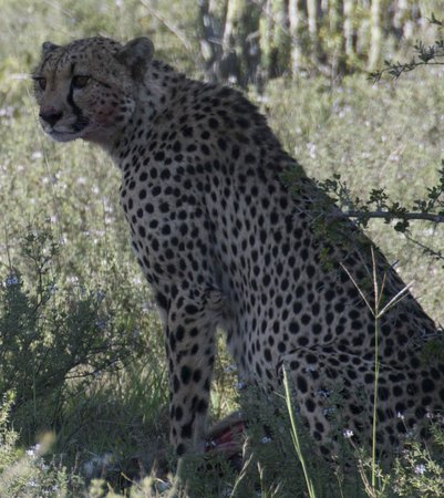 Kwandwe Great Fish River Lodge: that look from a cheetah