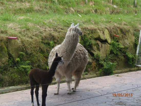 Agroturismo Maddiola: alpacas