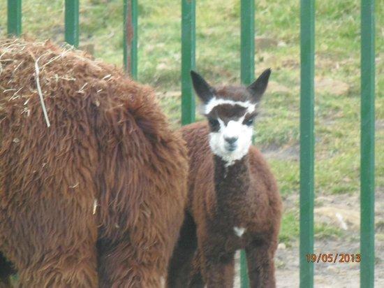 Agroturismo Maddiola: Alpacas recién nacidas