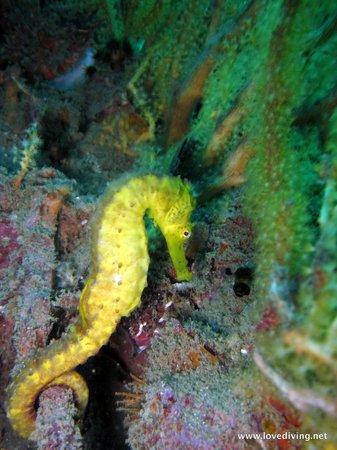 เลิฟ ไดวิ่ง ภูเก็ต: Tiger tail seahorse