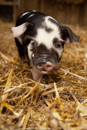 Fishers Farm Park: Piglets!