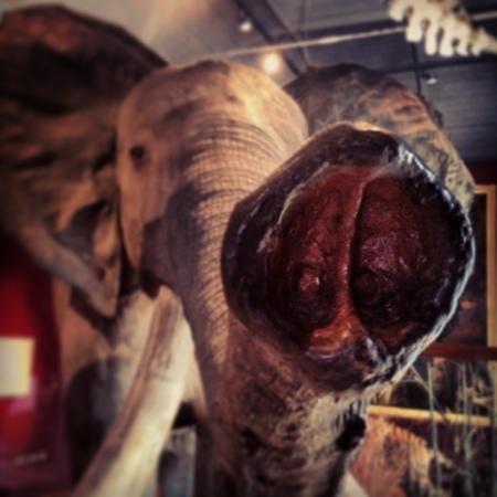 Royal Albert Memorial Museum: elephant