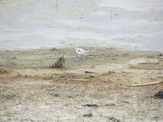 Congress Hall : Piping Plover