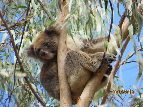 Kangaroo Island Odysseys: koala