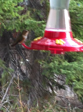Storm Mountain Lodge & Cabins : Humming Birds