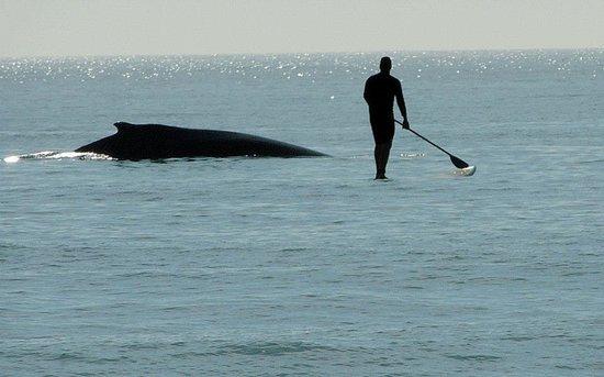 Ohana Paddle Sports: Whale