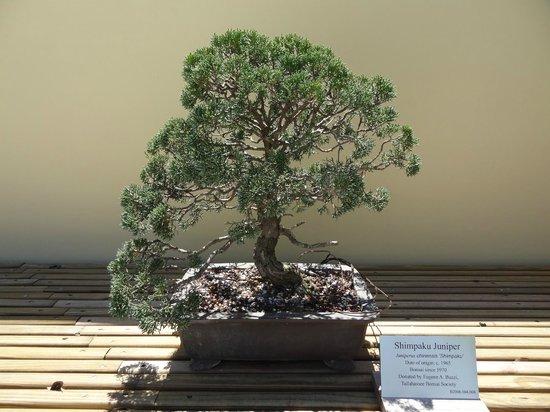 Morikami Museum & Japanese Gardens : Shimpaku Juniper (date d'origine) 1965