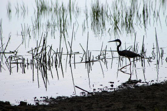 Huntington Beach State Park: Bird in the marsh