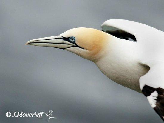 Hermaness National Nature Reserve: Gannet flypast