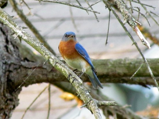 Myer Country Motel: A pair of Eastern Bluebirds are nesting in a box near the office.