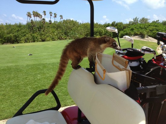 Riviera Cancun Golf: A hungry, but friendly Coatis on our cart!
