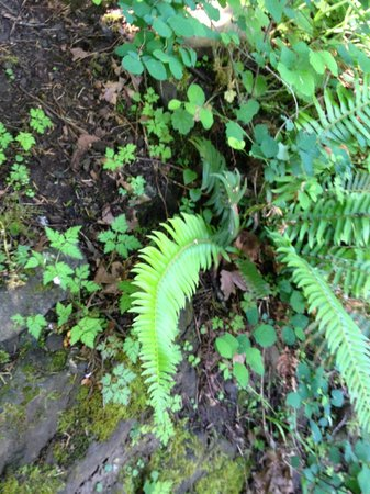 Fern growing out of rock at Multnomah Falls