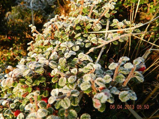Sandakphu: Snow on leaves