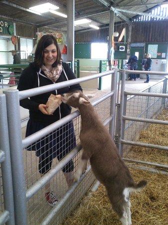 DairyLand Farm World: Feeding the goats!