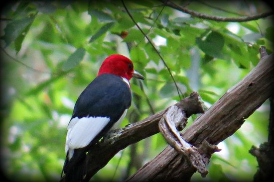 Big Hart Campground: red-headed woodpecker
