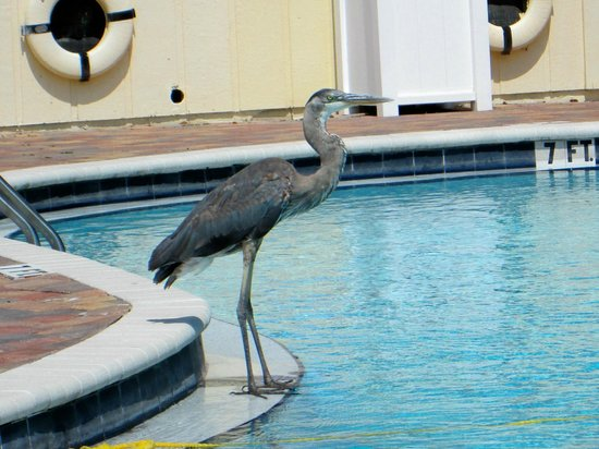 Homosassa Riverside Resort: Great Blue Heron at the pool