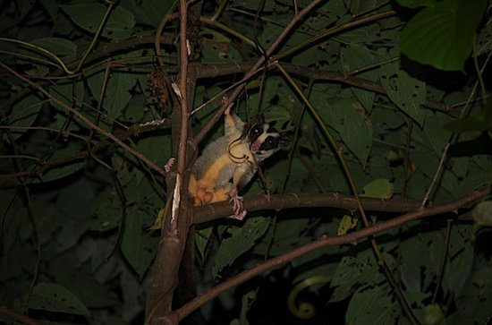 Sanctuary Retreat: A striped possum came and visited us on the first night! It was a very rare and exciting experie