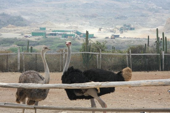 Aruba Ostrich Farm: Ostriches we fed