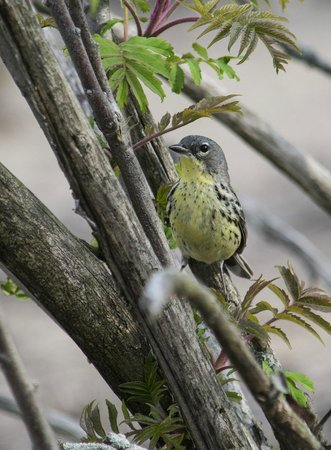 Holiday Inn Express & Suites Port Clinton: female Kirtland's Warbler - very rare