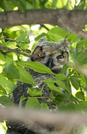 Holiday Inn Express & Suites Port Clinton: A just out of the nest Great Horned Owl