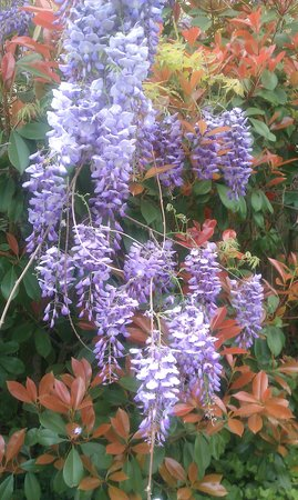 Woodbine Hotel and Restaurant: We have the most beautiful Wisteria bush - over 80 years old