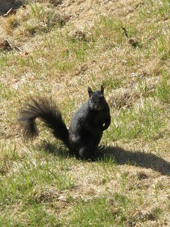 Inglewood Bed & Breakfast: Black squirrel in the garden