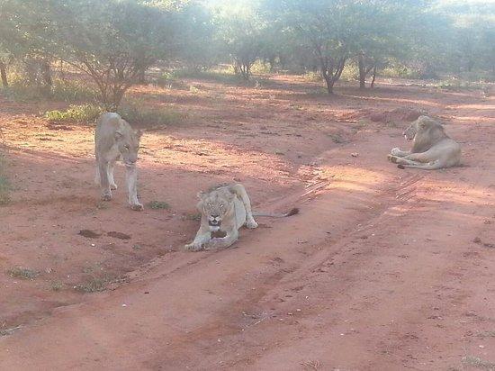 Garonga Safari Camp: Lions