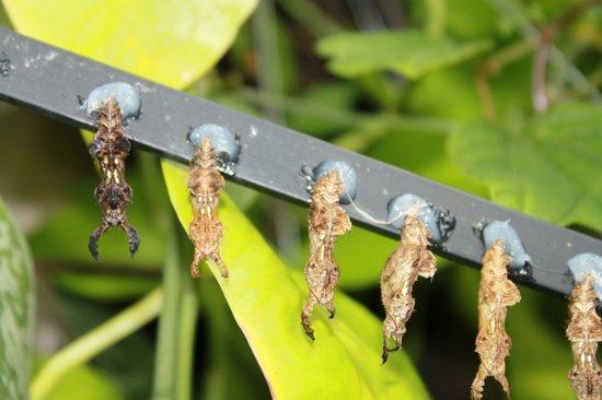 Myriad Botanical Gardens: Butterfly Chrysalis