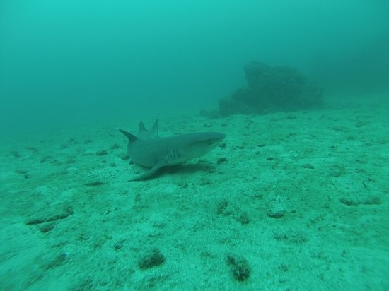 Cano Island: white tip reef shark