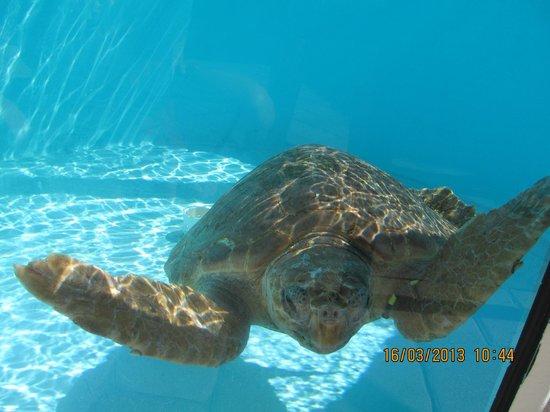 Loggerhead Marinelife Center: Una amigable habitante del acuario.