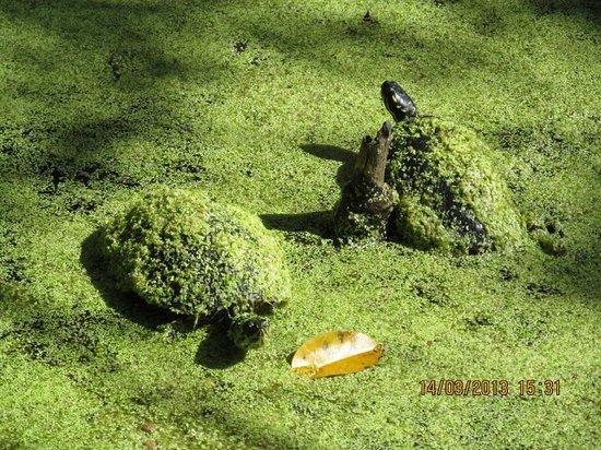Busch Wildlife Sanctuary : Tortugas tomando el sol