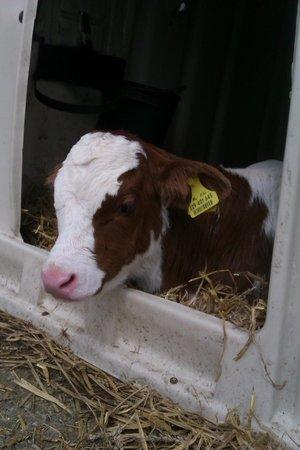Sint Nicolaashoeve: Calf