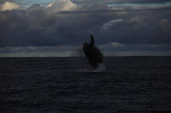 Na Pali Riders: Breaching Whale - Closer than this looks!
