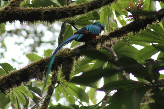 Rainbow Valley Lodge: Adult Male Queztal