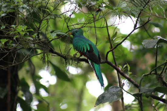 Rainbow Valley Lodge: Juvenile Male Quetzal