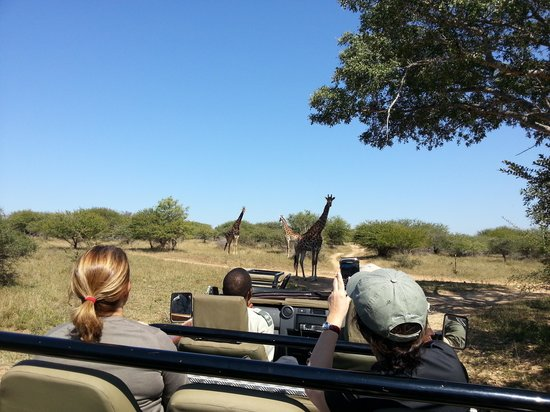 Thornybush Game Lodge: Giraffs