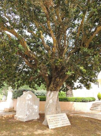 Monastery of Agios Gerasimos: An olive tree