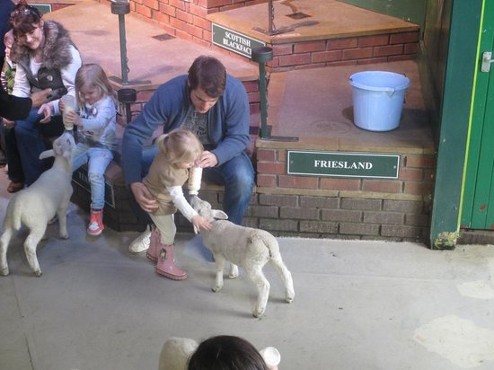 Trevalgas Cottages: Feeding the lambs at The Big Sheep