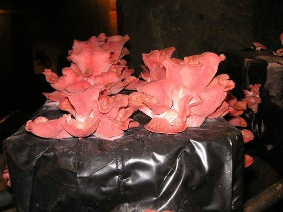 Musée du Champignon : Pleurotte roses